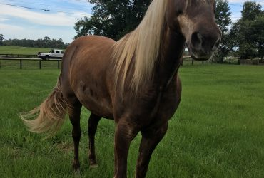 Rocky Mountain Gelding, Chocolate