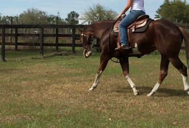 APHA/AQHA double registered 13 year old liver chestnut mare for sale.  HALF DIRTY/ALL FANCY