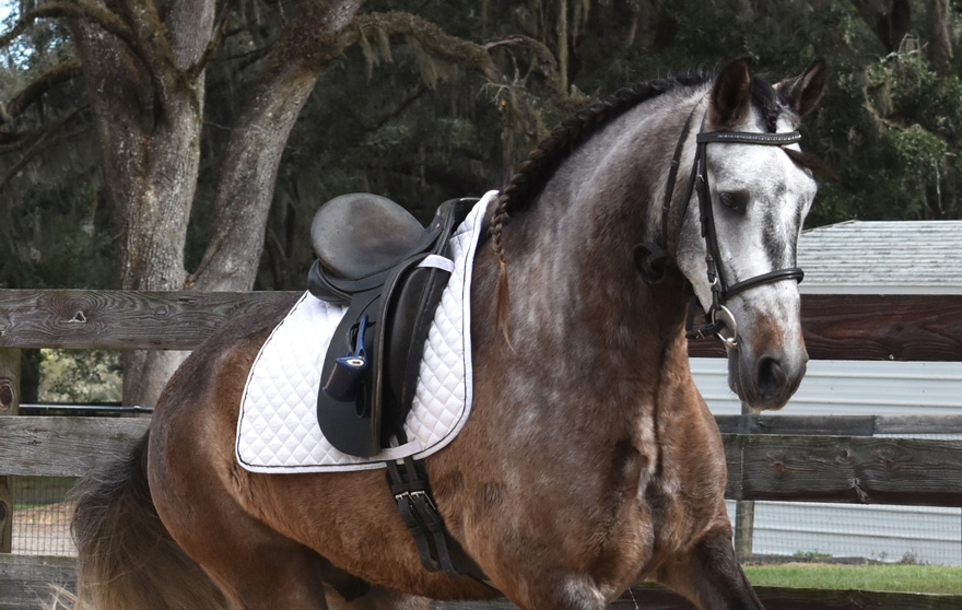 Versatile  and Athletic Andalusian Gelding