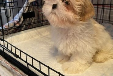 gift  beautiful Shih tzu puppies for adoption
