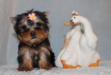 AKC Yorkshire Terrier