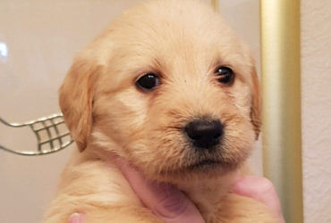 F1 Labradoodle Puppies available