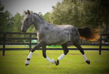 Outstanding 2018 PRE Grey Dressage Prospect