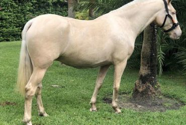 2013 Palomino Revised P.R.E. Mare – Trained to Ride and Broodmare